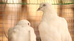 Closeup of white Pigeon - stock footage