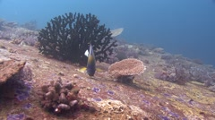 Blue-ringed angelfish Similan Islands Thailand Stock Footage