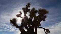 Joshua Trees Silhouette, desert scene Stock Footage