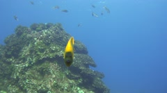 clarion angelfish Revillagigedos Islands Mexico - stock footage