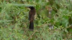 Black-capped donacobius, 4k Stock Footage