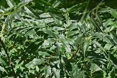 green leaves of ash tree - stock photo