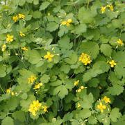flowering celandine plants - stock photo