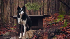 A black and white husky guard dog Stock Footage