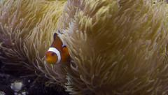 Clown Fish Hiding On Anemone Stock Footage