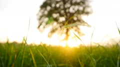 Tree of life. green grass field background. sunset light. vivid colors Stock Footage