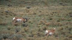 Grazing Antelope Stock Footage