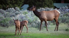 Elk with 2 Calves playing - stock footage