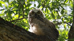 Baby Great Horned Owl Stock Footage