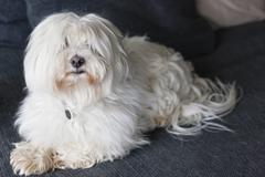 Close-up of a hairy dog at home - stock photo