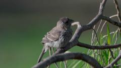 Gray Finch on tree branch Stock Footage