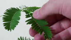 Mimosa Pudica Plant Moves Leaves When Touched Stock Footage