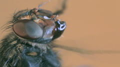 Housefly magnification Stock Footage
