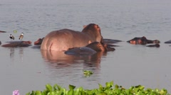 Back view of the hippos in the water, Uganda Stock Footage
