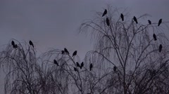 4k Crows closeup flying and sitting on tree while upcoming night Stock Footage