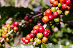 Stock Photo of Coffee on tree