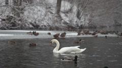 Swans and ducks in park Aleksandriya Stock Footage