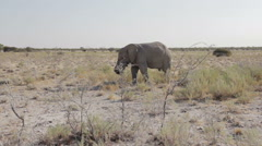Old elephant in Etosha National Park Stock Footage