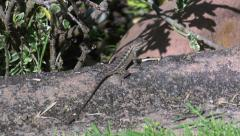 Lizard Blending into the Environment with Mimetism - stock footage