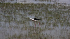 Black-winged stilt in the soca river mouth Stock Footage