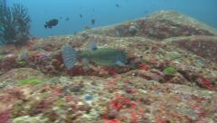 Yellow boxfish Similan Islands Thailand Stock Footage