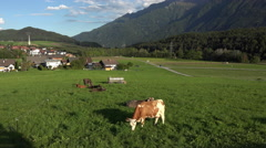 Cows in field scenic Austria mountain valley 4K 055 Stock Footage