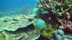Meyer's butterflyfish Similan Islands Thailand Stock Footage