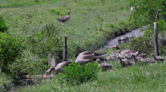 Gray geese Stock Footage