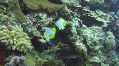 Pyramid butterflyfish Palau Micronesia Stock Footage