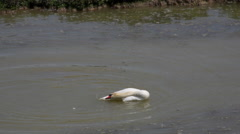 Swan in the Soca river Stock Footage