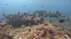 white-collar butterflyfish Kuredu Maldives - stock footage