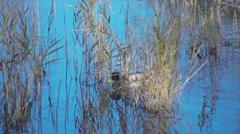 Mallards in the lagoon of Marano - stock footage