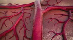 circulatory system - stock footage