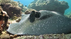 Whiptail Stingray on a coral reef Stock Footage