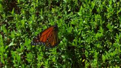 Monarch Butterfly on Hedge Plant Flyies Off Stock Footage