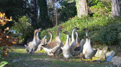 Group of gray goose Stock Footage