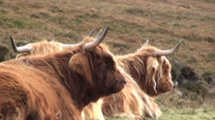 Highland Cattle sitting on a mountain slope in Scotland Stock Footage