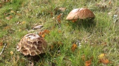 Wild mushrooms in the Grass Stock Footage