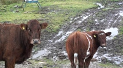Startled Calf and Mom Stock Footage