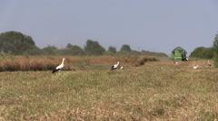Combine harvest ripe wheat barley and stork birds Stock Footage