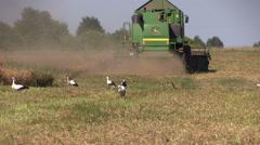 Combine harvest ripe dry pease plants. stork birds Stock Footage