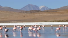 2014-flamingo-laguna-bolivia-agcs-03.mp4 Stock Footage