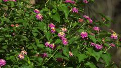 Lantana Flower Verbena Shrub 4k Stock Footage