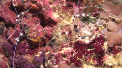 Banded boxer shrimp Kuredu Maldives Stock Footage