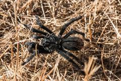 Grand Canyon Black Tarantula - stock photo