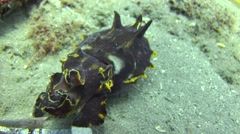 Pfeffer's flamboyant cuttlefish Negros Philippines Stock Footage