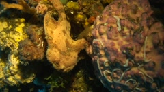 Giant frogfish brown Negros Philippines Stock Footage