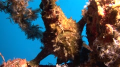 Giant frogfish brown Similan Islands Thailand Stock Footage