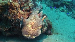 Giant frogfish grey Negros Philippines Stock Footage
