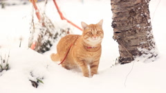 rufous cat walking on a snowdrift - stock footage